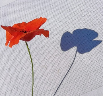poppy_shadow_sq